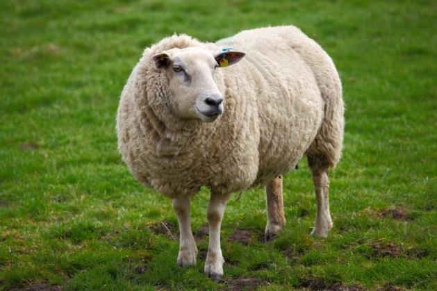 Brandweer schiet schapen zonder drinkwater te hulp