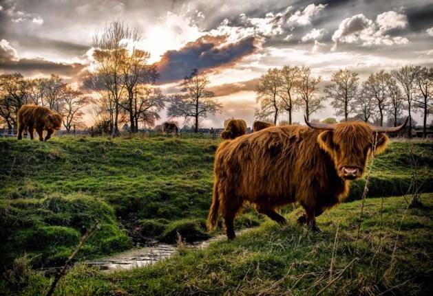 Vrouw op de hoorns genomen door Schotse hooglander