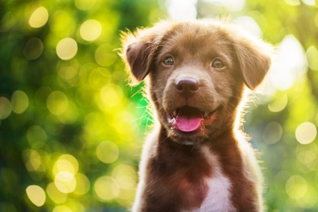 Dierenarts waarschuwt: dodelijke hondenziekte bij Duitse grens geconstateerd