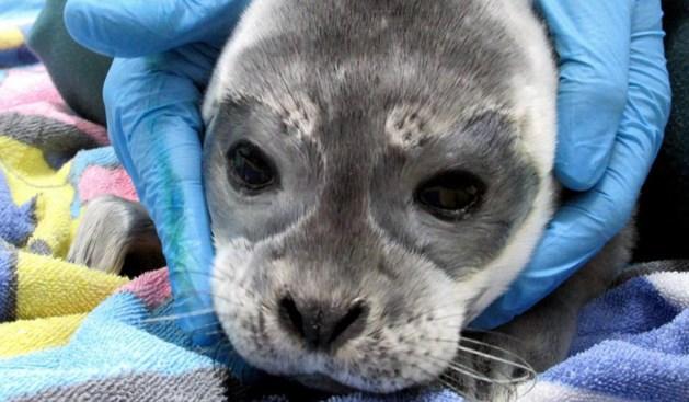 Zeehondencentrum Pieterburen vangt eerste huiler van deze zomer op