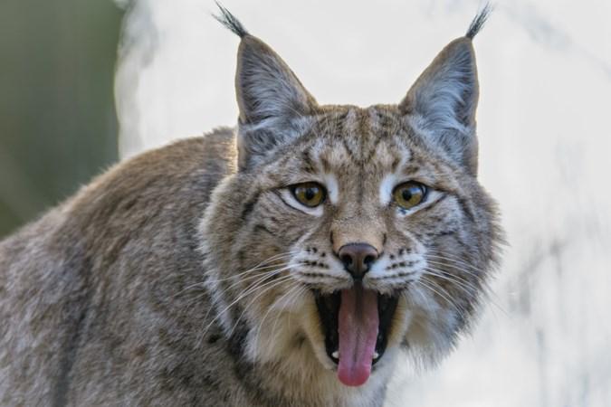 Lynx gefilmd vlak over Limburgse grens