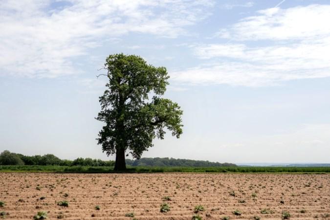 Eenzame eik kan Europese Boom van het Jaar worden