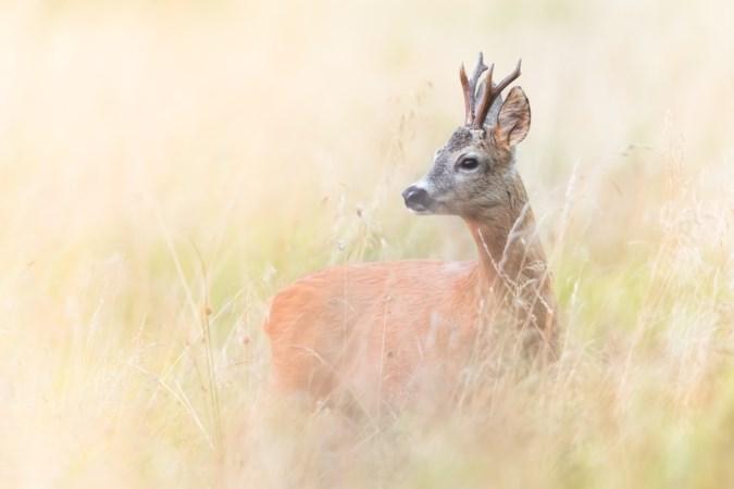 Gezocht: een jager die een hert wil en mag afschieten