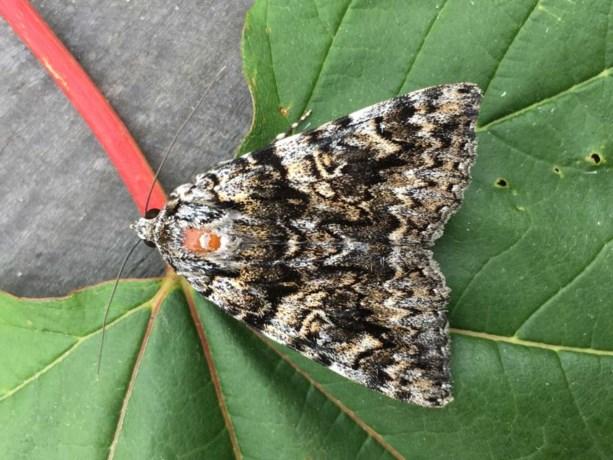 Zeldzame nachtvlinder gespot op Sint Pietersberg
