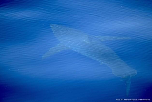 Witte haai gespot bij Mallorca, de eerste in decennia