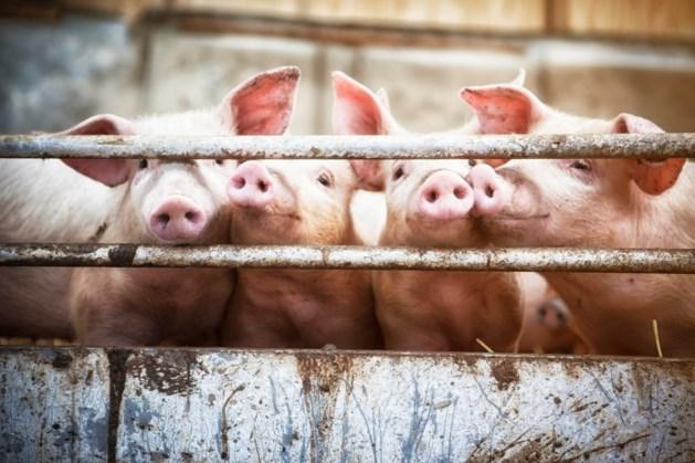 Kabinet helpt varkensboeren te stoppen