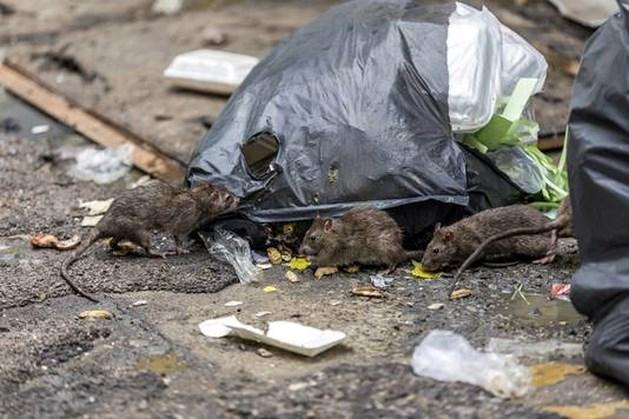 'Ratten op straat door droogte'