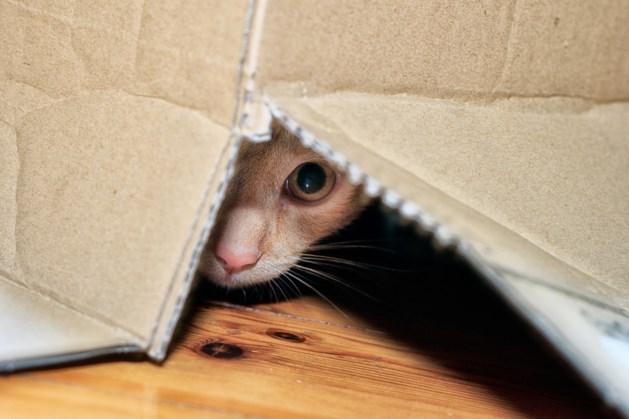 Belgische politie start onderzoek naar kattenzwendel