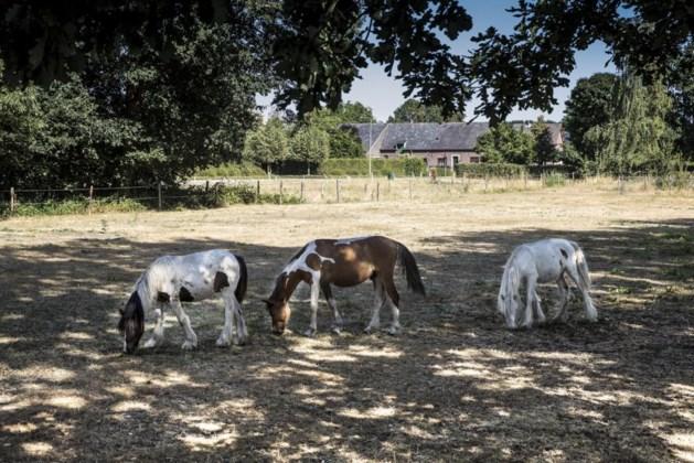 Paarden in de zon, zielig?