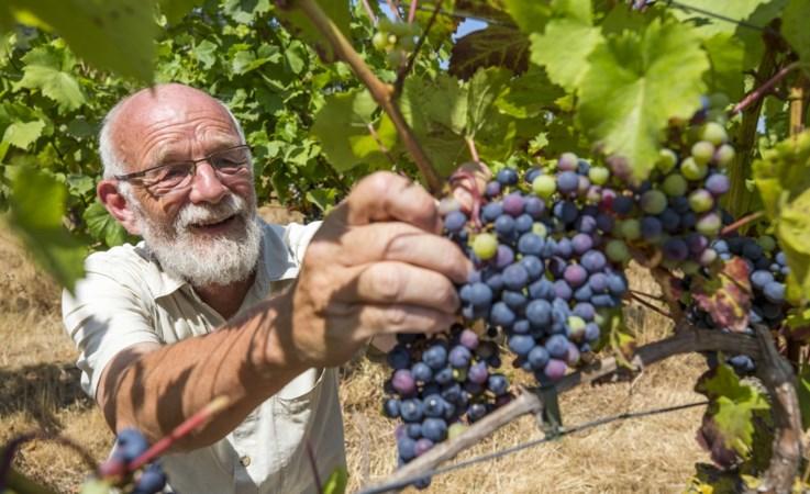 Wat betekent de uitbundige zomer voor de Limburgse wijnoogst?