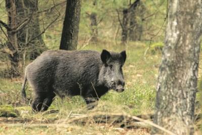 Jagers waarschuwen voor explosieve groei aantal wilde zwijnen