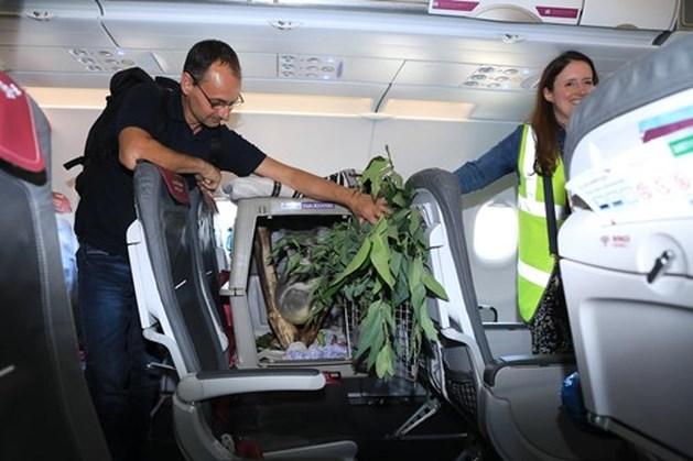 Koala vliegt in stijl naar nieuw thuis in Schotland