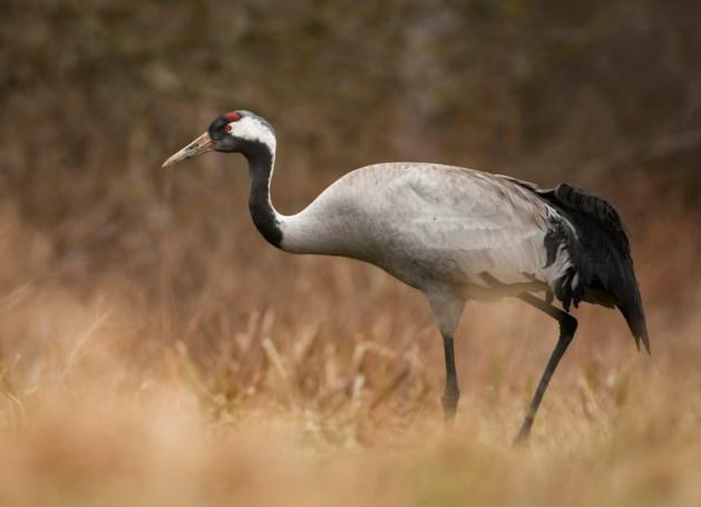 Voor het eerst broedende kraanvogels in Limburg