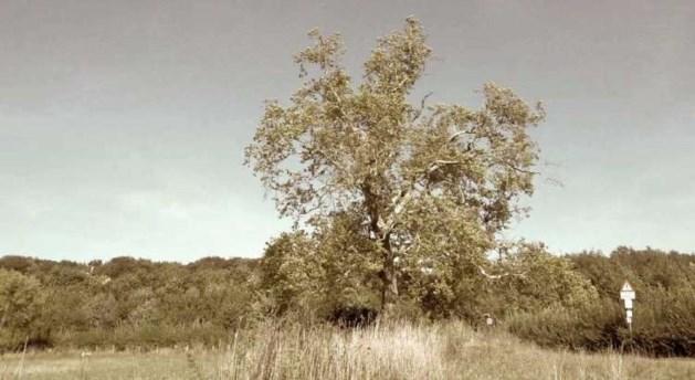 Heerlense Troostboom legt het af tegen Troeteleik