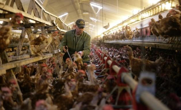 Hulp bij aanpak overlast kippen