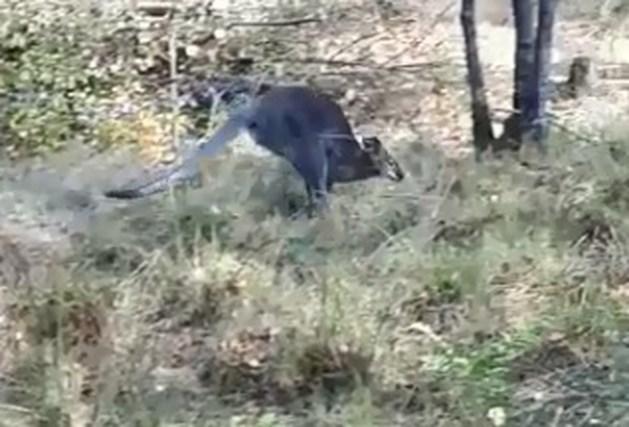 In Vredepeel gevangen kangoeroe overleden