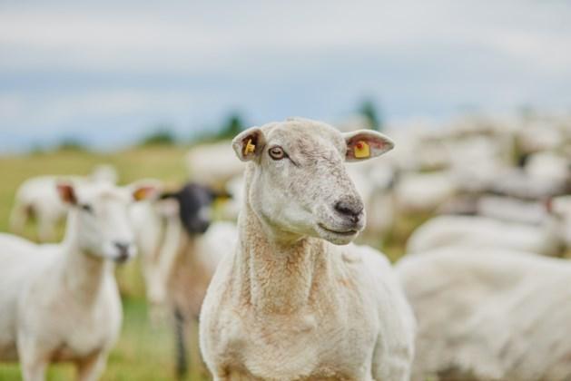 Geiten helpen schapen op Bemelerberg