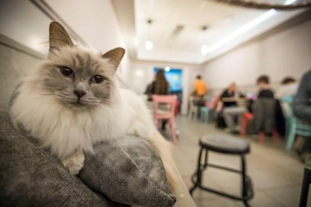 Eerste Limburgse kattencafé sluit noodgedwongen zijn deuren