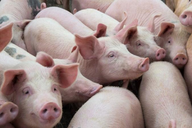 'Rotte appels in de varkenshouderij aanpakken'