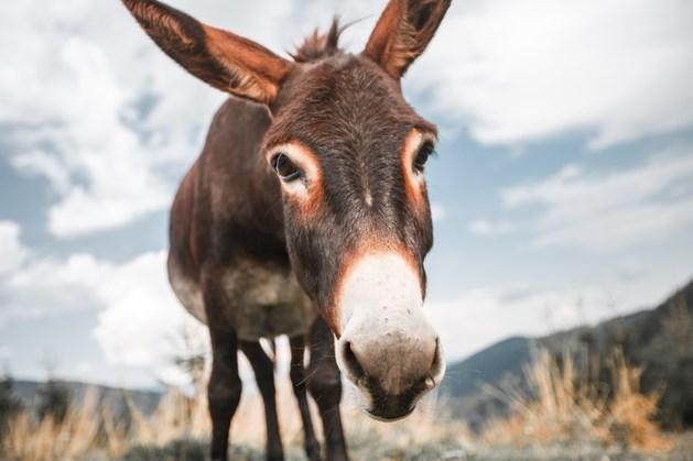 Man krijgt proces-verbaal omdat zijn ezel geen stal heeft