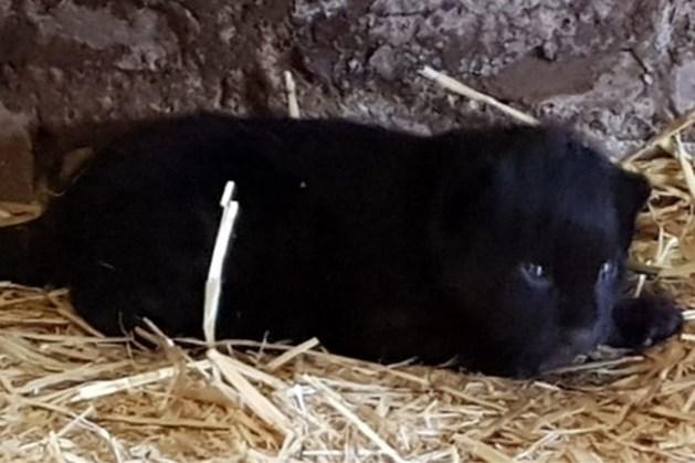 Zwarte jaguar geboren in dierentuin Best