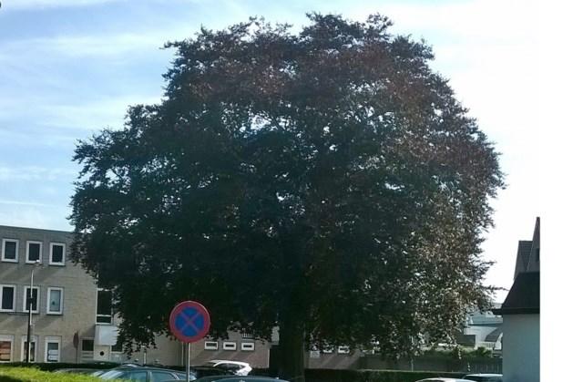 Monumentale bomen in Weert leveren indrukwekkende prestaties