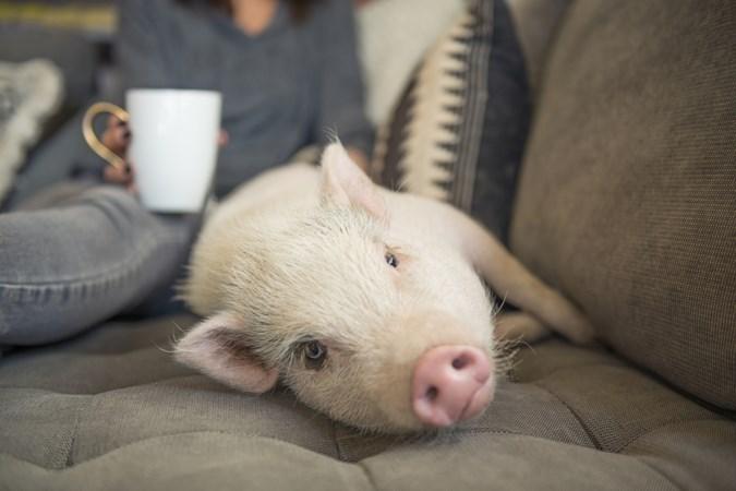 Waarom aaien we honden en eten we varkens?