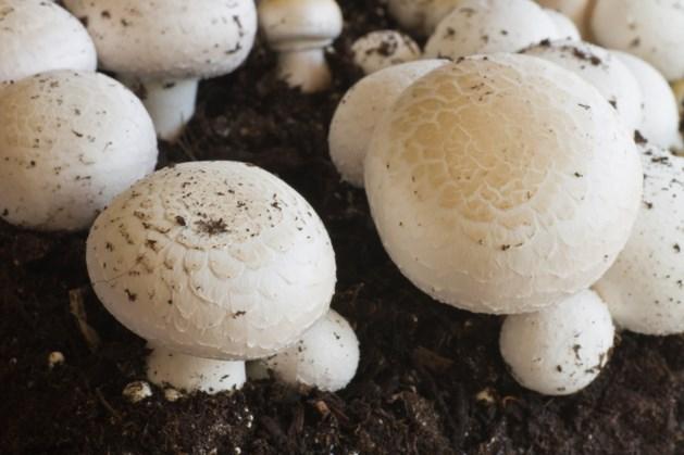 Houtgestookte droger produceert jaarlijks 2000 vrachtwagens korrels uit champignoncompost