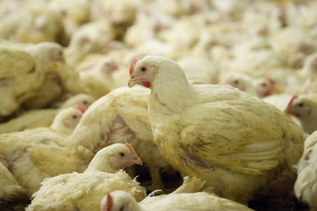 'Meer kiloknallers met kip dan ooit'
