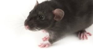Rattenoverlast Broekhem houdt aan