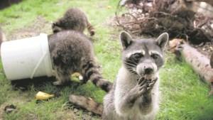 Krijgt de Limburgse wasbeer respijt?