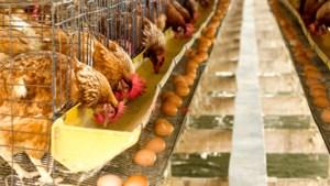 'Voedselautoriteit was nalatig in fipronilzaak', zeggen pluimveehouders bij rechtszaak