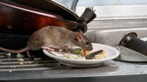 App moet gemeenten eerder waarschuwen voor rattenoverlast