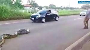 Video: Automobilisten helpen enorme anaconda snelweg over te steken