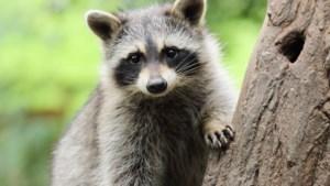 Den Haag: Limburgse wasbeer mag worden afgeschoten