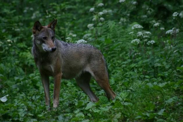 Terugkeer wolven in Limburg