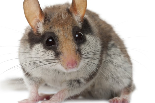 Tientallen 'Limburgse' diersoorten ernstig bedreigd