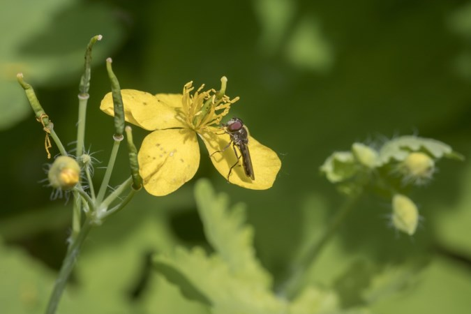 Onkruid met lieve, kleine, gele bloempjes