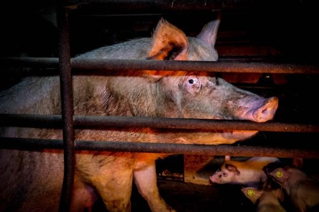 LLTB roept Limburgse veehouders op extra alert te zijn op dierenactivisten