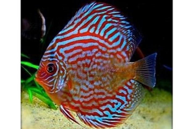 Aquariumvereniging zoomt in op discusvis