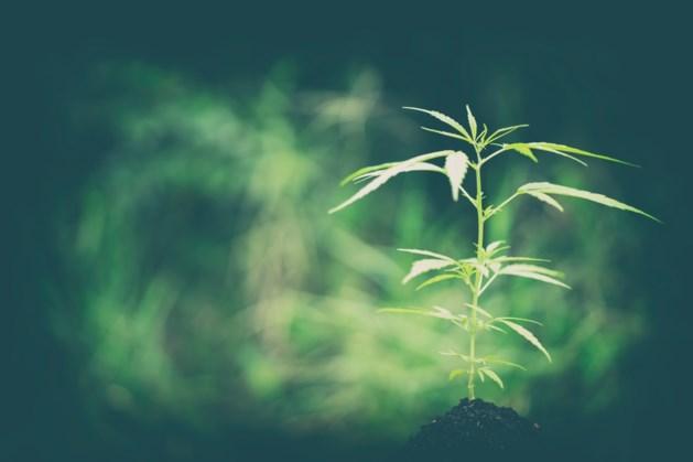 Herwaardering plant Cannabis