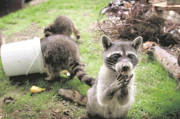 Voerendaal: 'Wasbeer melden bij faunabeheer'