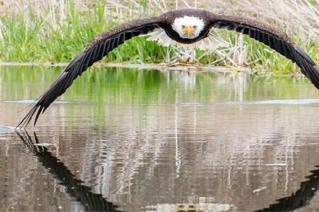 Imposante foto van zeearend gaat viraal: 'Ik voelde de bries van zijn vleugels'