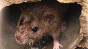 Onderzoek naar rattenoverlast in Beek