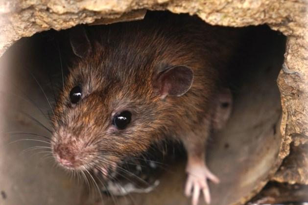 'Rattenplaag' bij kerk Heerlense wijk Schaesbergerveld
