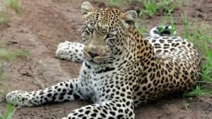 Luipaard doodt 2-jarige peuter in Krugerpark Zuid-Afrika