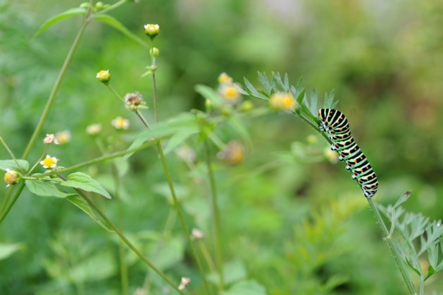 Dagvlinder houdt praatwandeling in Beek