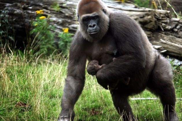 Citaverde haalt 400 euro op voor gorilla's