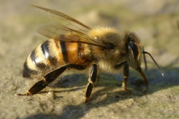 Het leven van de honingbij belicht in Tapijn