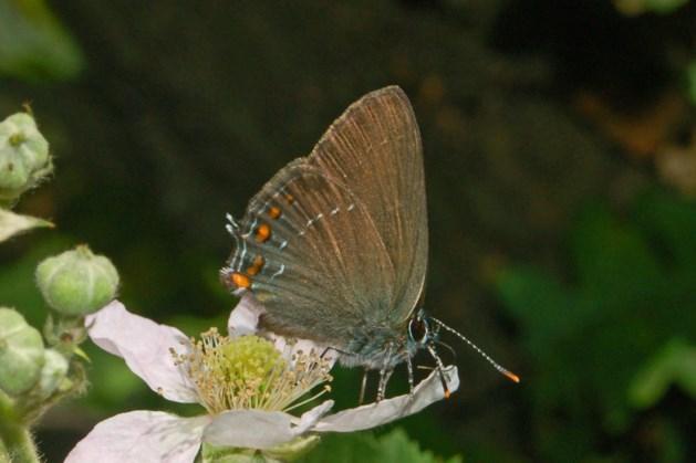 IVN-insectenexcursie: op zoek naar de bruine eikenpage